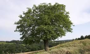 Walnut tree (the gardian uk)