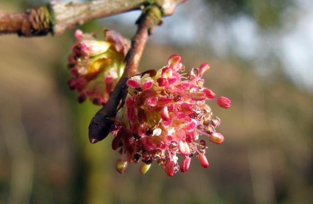 Elm flowers 2