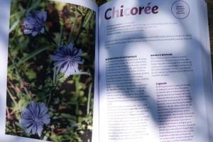250 remèdes Chicorée