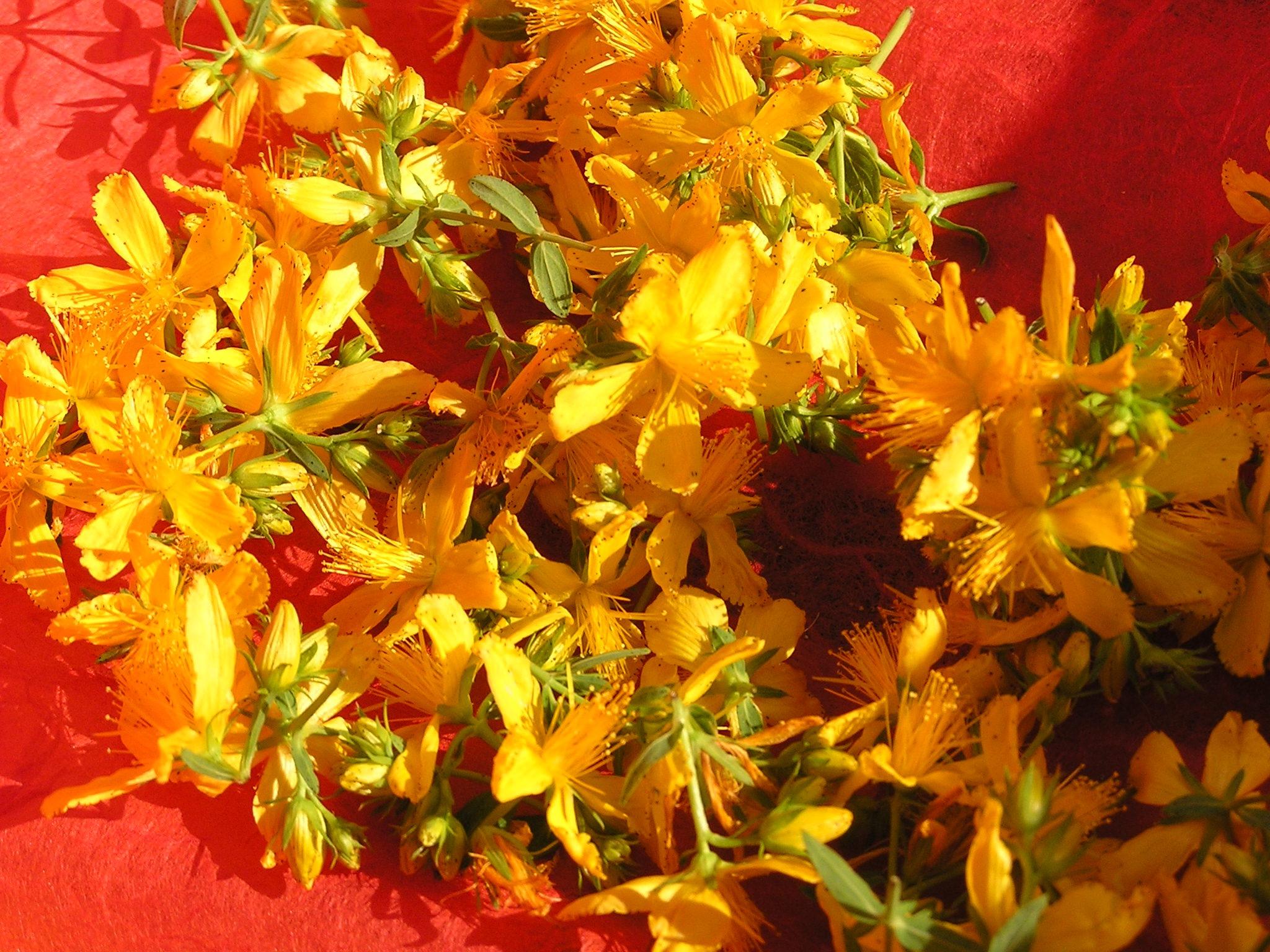 Millepertuis, plante solaire