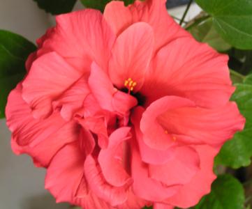 Tisane d'hibiscus